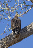 2 year old bald eagle,