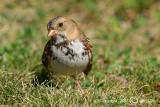 Harriss Sparrow - Zonotrichia Querula - Zwartkeelgors