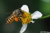 Honeybee DSC_2165