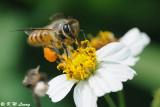 Honeybee DSC_2157