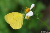 Eurema hecabew DSC_2200