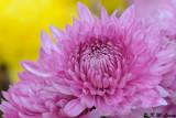 Chrysanthemum DSC_4679
