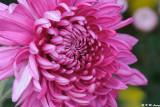 Chrysanthemum DSC_4667