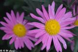 Chrysanthemum DSC_4644