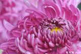Chrysanthemum DSC_4640