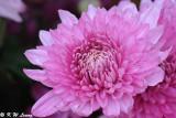 Chrysanthemum DSC_4665