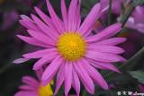 Chrysanthemum DSC_4643