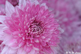 Chrysanthemum DSC_4668