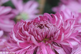 Chrysanthemum DSC_4636