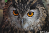 Eurasian Eagle Owl DSC_5593
