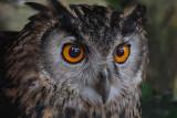 Eurasian Eagle Owl DSC_5602