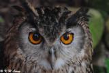 Eurasian Eagle Owl DSC_5604