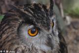 Eurasian Eagle Owl DSC_5597