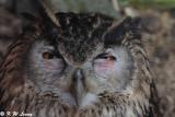 Eurasian Eagle Owl DSC_5574