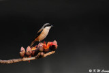 Long-tailed Shrike DSC_6078