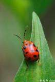 Lady Beetle DSC_7584