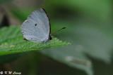 Neopithecops zalmora DSC_7661