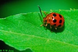 Lady Beetle 03