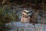 Burrowing Owl IMG_2118.jpg