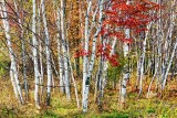Autumn Birches 29873