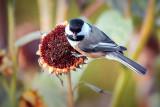 Chickadee On A Dead Sunflower 28272