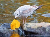 Gull With Autumn Leaf 28348