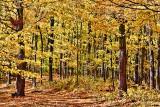 Autumn Woods 29886
