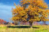 Autumn Tree 30332