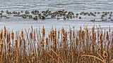 Geese On Ice 20121201