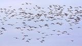 One Huge Skein Of Geese 31568