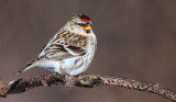 Common Redpoll 28431