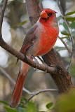 Cardinalis Hybrid 86972