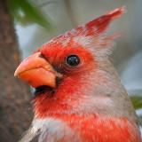 Cardinalis Hybrid Closeup 86979