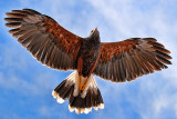Harris's Hawk In Flight 75205
