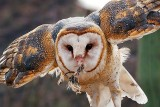 Barn Owl With Lunch 74741