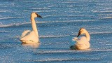Two Swans On Ice 20130316