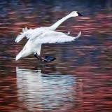 Incoming Swan 20130326