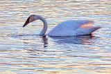 Swan At Sunset 28799