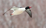 Merganser In Flight 28901