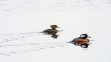 Mrs & Mr Merganser 20130407