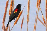 Bird On A Cattail 20130411