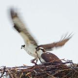 Ospreys 20130413