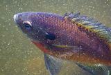 Bluegill Fish