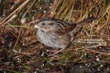 swamp sparrow ii-4139.jpg