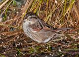 swamp sparrow ii-4138.jpg