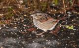 swamp sparrow ii-4134.jpg