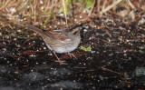 swamp sparrow ii-4133.jpg