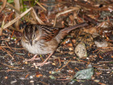 swamp sparrow ii-4132.jpg