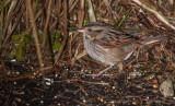 swamp sparrow ii-4130.jpg