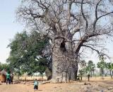 Sacred Baobab in Toumousseni, Burkina Faso